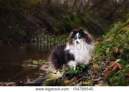 adorable shetland shepherd dog posing outdoors in autumn