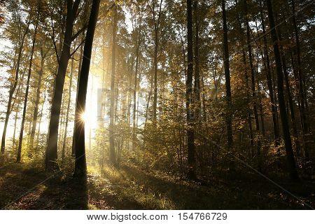 Autumn deciduous forest at sunrise. Poland .