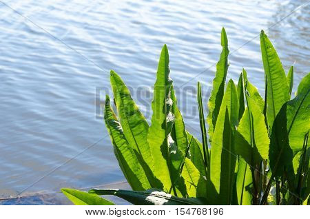 Asplenium scolopendrium - hart's-tongue fern. Tongue-shaped green leaves on the shore of the Tisza (Tisa) backwater in Hungary. Among rocks.