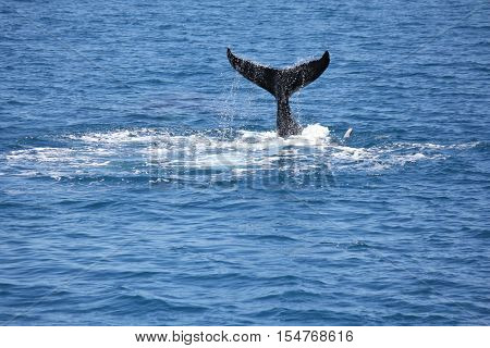 Humpback Whale flapping his tail Hervey Bay Australia