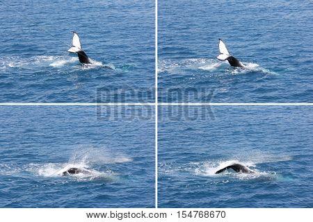Humpback Whale waving its Tail Montage Hervey Bay Australia