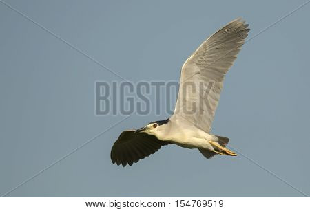 A Black-crowned Night Heron (Nycticorax nycticorax) flying