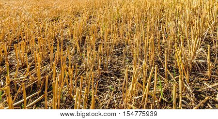 Closeup of the cut golden stems of fodder maize stubble in a Dutch field on a sunny day in the fall season.