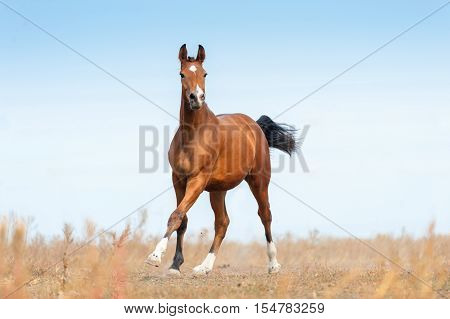 Bay beautiful horse run gallop on pasture