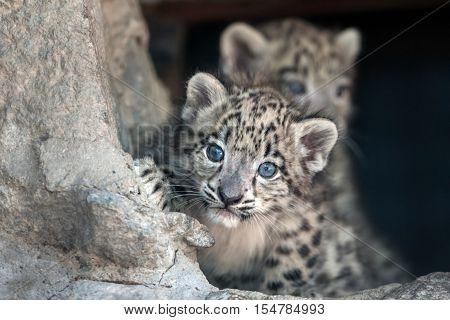 Two snow leopard baby portrait outdoor in zoo