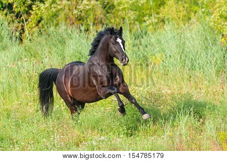 Black horse run gallop on spring pasture