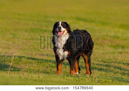 Berner dog stand on green field at summer day