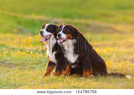 Two bernese mountain dog on spring flower field at sunset light