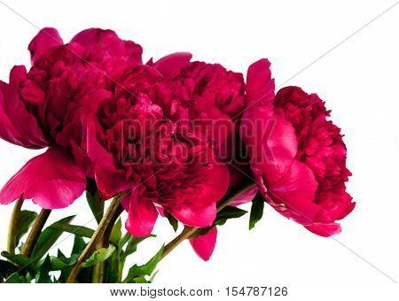 peony flower isolated on white background .