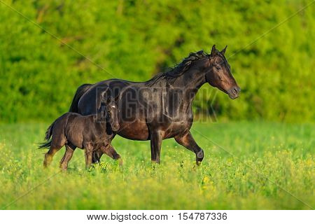 Mare with foal trotting on pasture in spring day