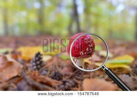 Clear image in magnifying glass against blurry shot with forest bokeh in the background. Close-up of Red Amanita mushroom poisonous organism