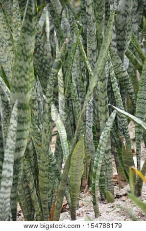 Leaves Surface Texture Of Snake Plant