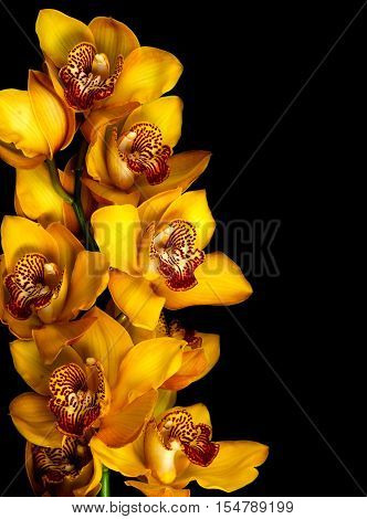 yellow orchid isolated on black background .