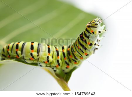 Macro Of Caterpillar On Leaf
