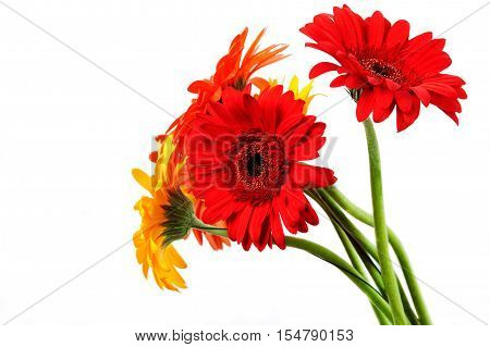 Gerber Daisy isolated on white background . Flower