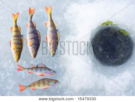 perch fish group on blue ice
