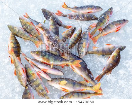 fish on blue ice background