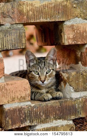 A tabby cat sitting on the bricks poster