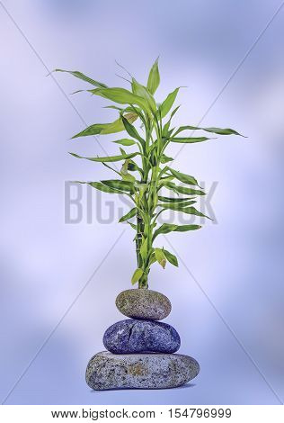 View of a bamboo plant with three stones in the fore ground on a diffused background