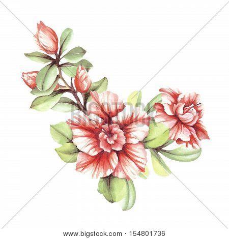 Blossoming branch azaleas. Hand draw watercolor illustration.