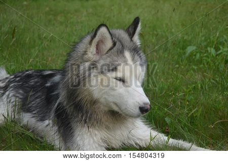 SIberian husky dog sleeping in tall grass.