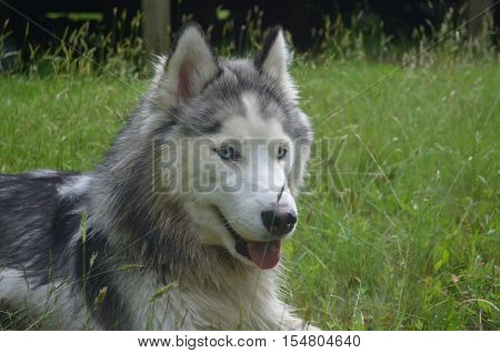 Great looking siberian husky dog in grass.