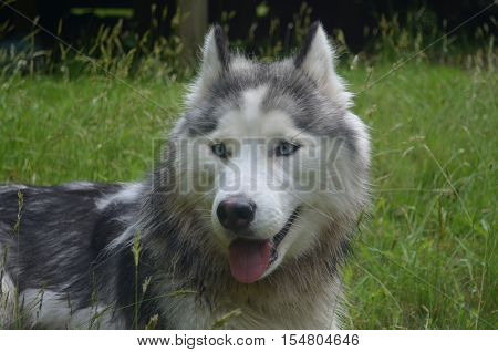 Pretty blue eyed Siberian husky dog laying in the grass.