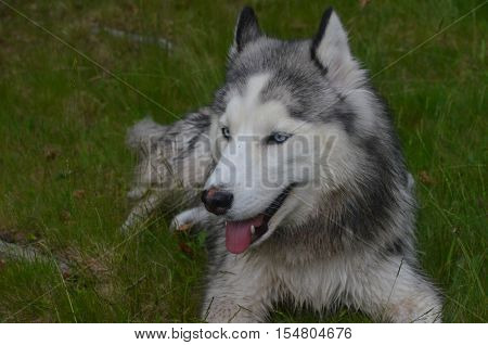 Great looking Siberian husky dog with a sweet face.
