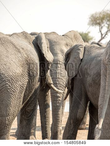 Portrait orientation of three elephants, the one in the middle is flanked by the ears of the other two as if in conversation