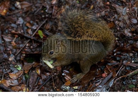 Three common squirrel found a nut on the ground, Costa Rica.