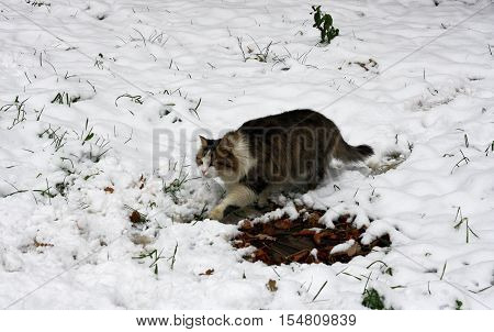 Big fluffy cat that sneaks along the road through the deep dirty snow.