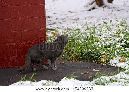 The big grey cat that looks out from behind the corner of the house.The cat is in the grass and snow. Rear view.