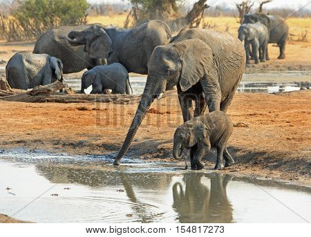 Mother and baby elephant taking a drink from waterhole with a large herd in the background