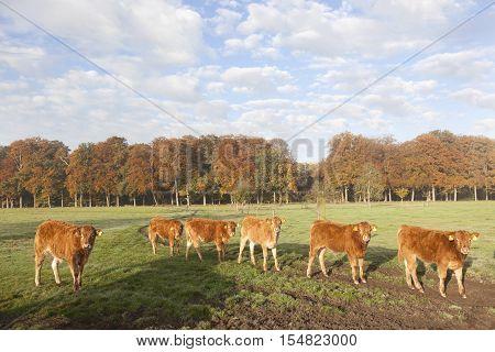 limousin calves in dutch meadow before autumn forest in warm morning light on utrechtse heuvelrug near Doorn