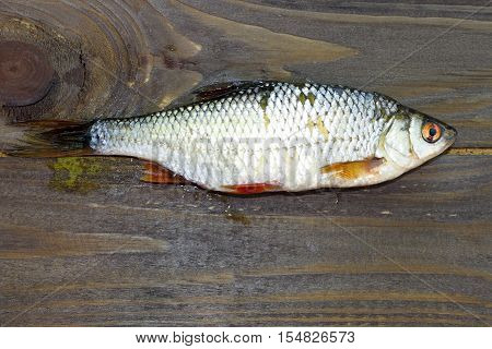 Freshwater fish that you catch in the lakes. One common Rudd fish on a brown wooden background .Freshly caught fish.The view from the top.