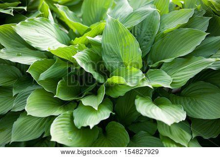 Hosta green leaves in summer garden. Close up.