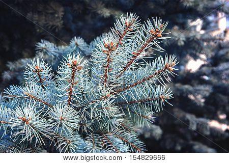 a many branch blue spruce close up