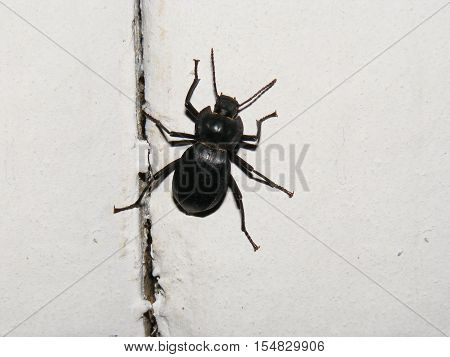 Black-billed beetle found in adobe houses walks freely