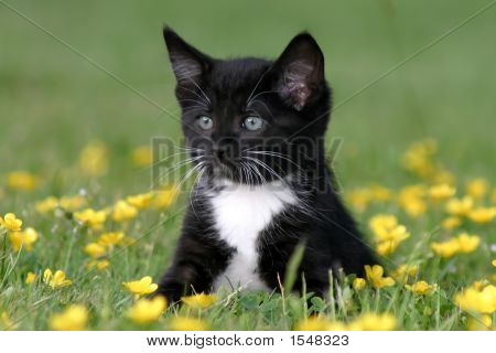 Black And White Kitten Sitting In Field Of Buttercups