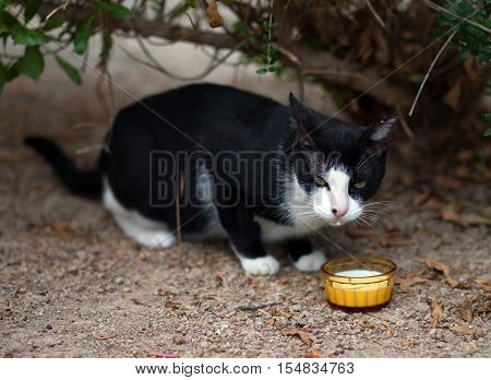 Portrait Of Stray Feral Cat With Milk.