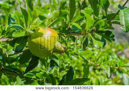 Fresh Unripe Pomegranate Fruit On The Branch
