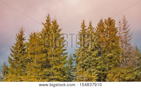 Majestic pine tree forest in the fog at mountain valley. Dramatic and picturesque morning scene. Carpathians, Ukraine, Europe. Beauty worldmountain landscape on the pink sky background