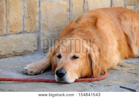 Portrait of red-haired dog waiting for the master