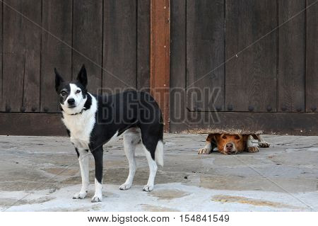 Two dogs and the wooden fence in Bulgaria