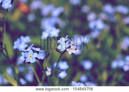 blue flowers forget-me-in the field toning space for text