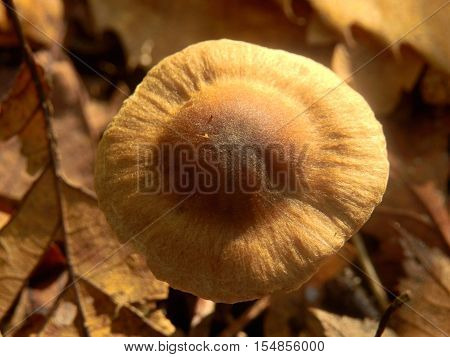 A fresh specimen of Inocybe napipes (Bulbous Fibrecap) growing in leaf litter on the forest floor