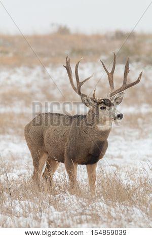 a big mule deer buck in snow