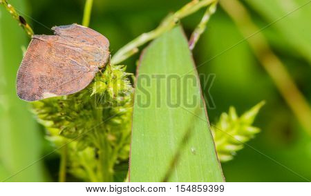 Closeup of a brown leaf-hopper sitting on a green plant