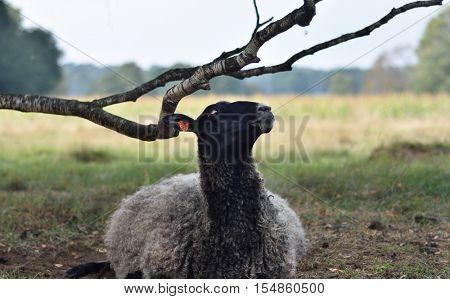 Farm animal. Sheep looking right at the camera.