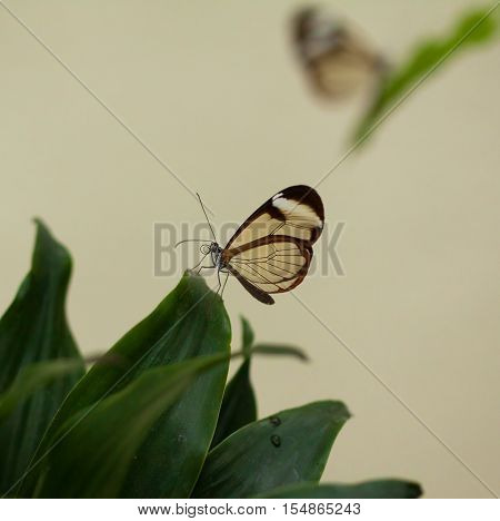 Beautiful butterfly, Nero Glasswing, Greta nero, close-up of transparent glass wing butterfly on green leaves. Scene from tropical forest, Mexico, resting on a green leaf, beautiful insect wings.